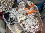 Adopt Sponsor Senior Harry a Dalmatian, Pointer