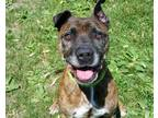 Adopt Saber a American Staffordshire Terrier