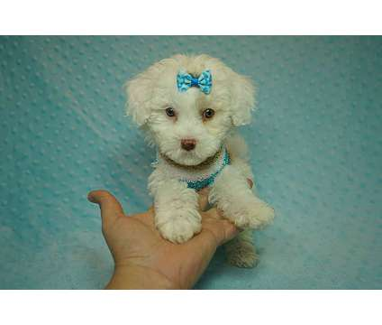 Savauge - Toy MaltiPoo Puppy in Los Angeles is a Male Malti-Poo Puppy For Sale in Los Angeles CA