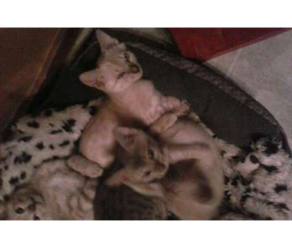T.I.C.A. reg spotted bengal kittens. F5's (ON SALE) is a Brown Male Bengal Kitten For Sale in Spring Grove PA