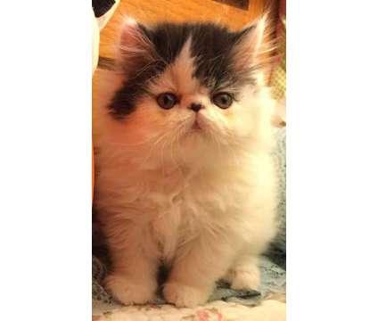 FLAT faced CFA Persian Kitten Black White Male Van is a Black, White Male Persian Kitten For Sale in Phoenix AZ