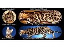 Bengal Kittens November