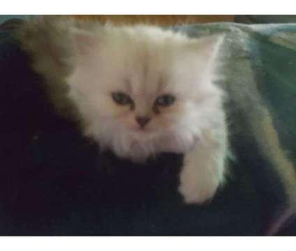 persian kitten is a Male Persian Kitten For Sale in Colona IL