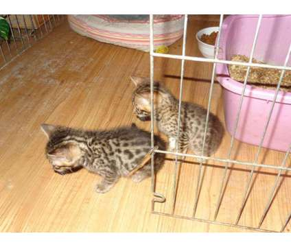 Bengal Kittens is a Bengal Kitten For Sale in Fort Myers FL