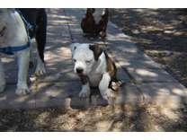 Olde English Bulldogge Pup
