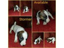 Ckc Jack Russell Terriers