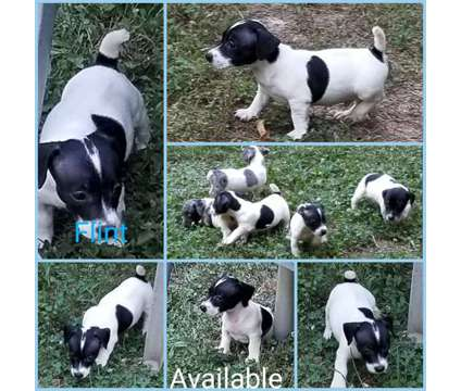 Ckc Jack Russell Terriers is a Male Jack Russell Terrier Puppy For Sale in Winston Salem NC