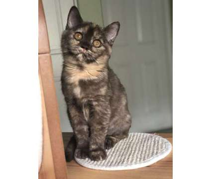 kittens for sale is a British Shorthair Kitten For Sale in Poway CA
