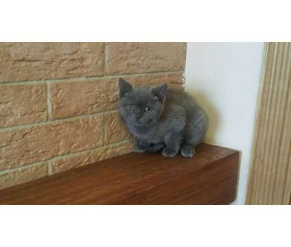 kittens for sale is a Male British Shorthair Kitten For Sale in Poway CA