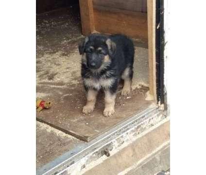 asdfghgfffffffffff Stunning German Shepherd Puppies is a German Shepherd For Sale in Toronto ON