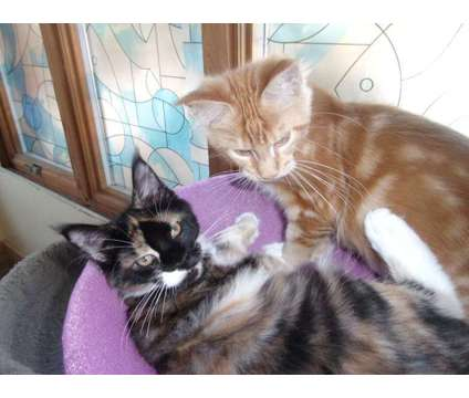 Registered Maine Coon Kittens is a Maine Coon Kitten in Brooklyn NY