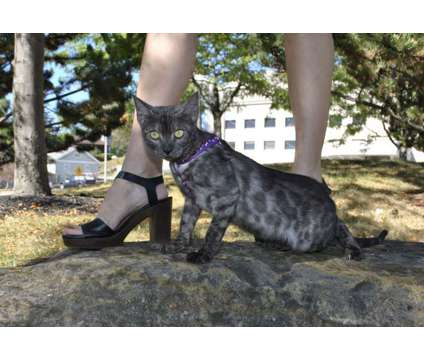 Adorable Bengal kitten for sale is a Female Bengal Kitten For Sale in Ashland OH