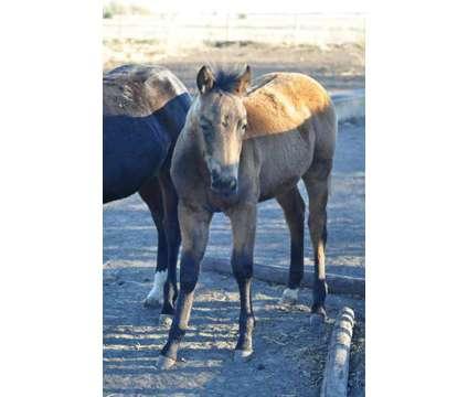 2017 AQHA foal crop is a Baby in Oconto NE