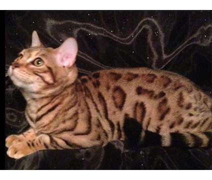 Bengal Kittens is a Bengal Kitten For Sale in Louisville KY
