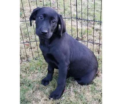 Purebred Black and yellow lab puppies! Ready now with first shots is a Black, Yellow Female, Male Labrador Retriever Puppy For Sale in Warren MA
