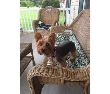 Purebred Yorkie is a Female Yorkshire Terrier For Sale in Roanoke Rapids NC