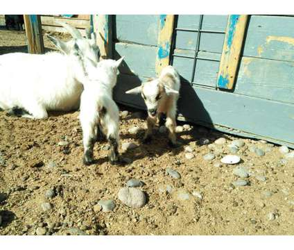 baby goats for sale is a Female Baby in Los Lunas NM