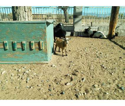 goats is a Male in Los Lunas NM