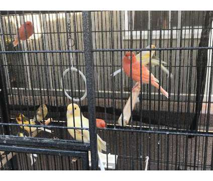 Canaries for SALE is a Male Canary For Sale in Downey CA