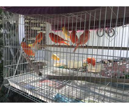 Canaries for SALE is a Canary For Sale in Downey CA