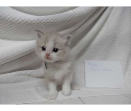 TICA Ragdoll kittens, minks and Sepia is a Ragdoll Kitten For Sale in Johnstown PA