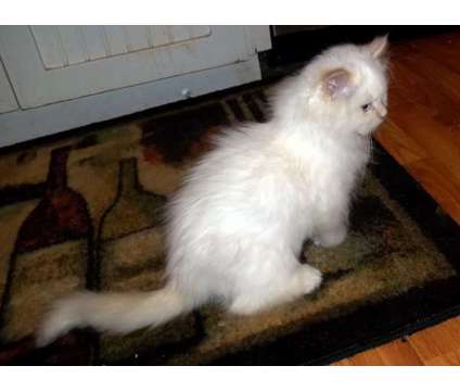 Super handsome, extremely friendly purebred Ragdoll kitten available - TICA regi is a Male Ragdoll Kitten For Sale in Wayne NJ