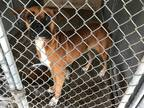 Adopt Mulberry a Tan/Yellow/Fawn Boxer / Mixed dog in Austin, TX (20011359)
