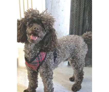 Toy Poodle is a Male Toy Poodle For Sale in Toledo OH