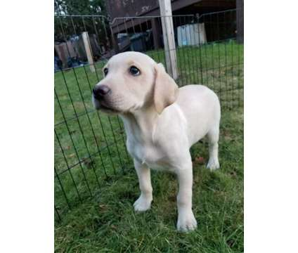 Purebred yellow male labrador puppy ready to go now with first shots is a Yellow Male Labrador Retriever For Sale in Warren MA