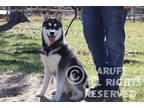 Siberian Husky Puppy For Sale in Akeley, MN, USA