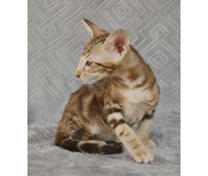 SWEET CFA Reg. ORIENTAL SHORTHAIR KITTENS is a Male Oriental Young For Sale in Blaine WA