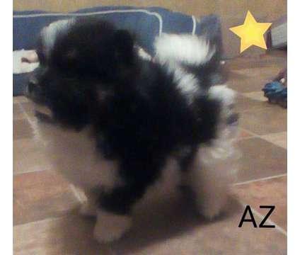 AKC Male Pomeranian is a Male Pomeranian For Sale in Emlenton PA