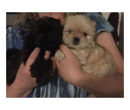 Maltese and shitsu puppies for sale is a Female Maltese Puppy For Sale in Watertown NY