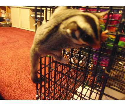 Sugar Glider is a Female Baby For Sale in Tucson AZ