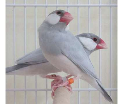 Javas Silvers(Hungaros) is a Grey For Sale in Miami FL