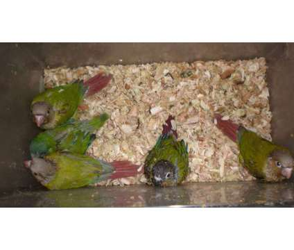 Baby Green Cheek Conures Guilderland NY is a Green Male Conure Baby For Sale in Albany NY