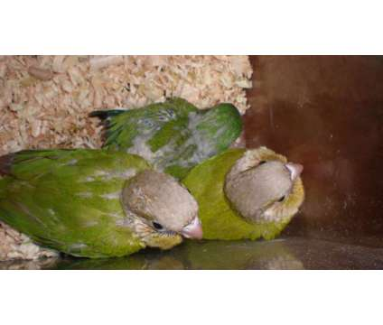 Baby Green Cheek Conures is a Green Male Conure Baby For Sale in Albany NY