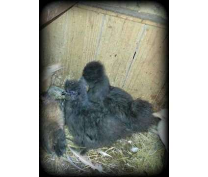 chicks is a For Sale in Floral City FL