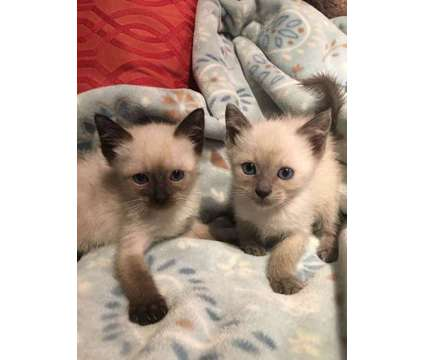 Siamese Kittens, Excellent Temperaments, Raised with Dogs is a Siamese Young For Sale in Nottingham NH