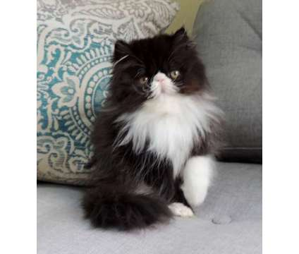 Persian Kitten Black & White Male READY TO GO is a Black, White Male Persian Kitten For Sale in Middleboro MA