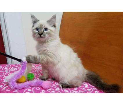 Ragdoll kittens *ready to go to new home now* is a Female Ragdoll Kitten For Sale in Fleetwood PA