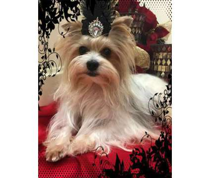AKC Yorkie stud available for stud service is a Male Yorkshire Terrier For Sale in Redding CA