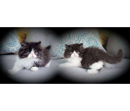 Persian Kittens READY TO GO, Male & Female is a Black, White Male Persian Kitten For Sale in Middleboro MA