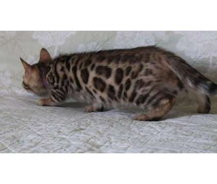 Bengal Kittens is a Female Bengal Young For Sale in San Diego CA