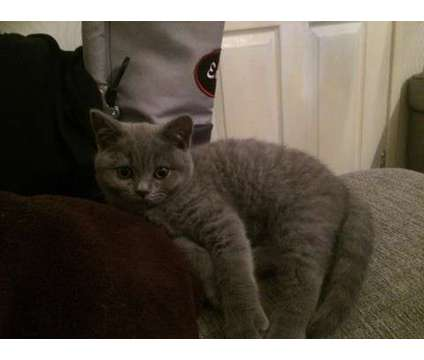 Very Cute Boy/Girl British Shorthair Kitten Looking For Special Home is a Male British Shorthair Young Wanted in San Francisco CA