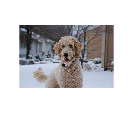 Goldendoodle Puppy is a Goldendoodle Puppy For Sale in Wake Forest NC