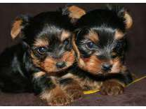 AKC Yorkshire Terrier Puppies-- DOB 12/17/17