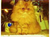 Beautiful Red and Black Male Persians Available