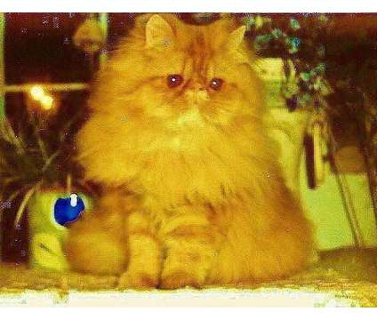 Beautiful Brown Tabby, Black, and Red Male Persians Available is a Black Male Persian Young For Sale in Floral Park NY