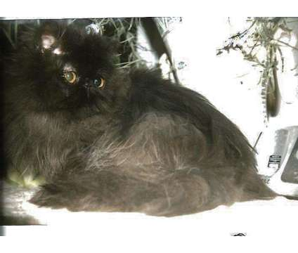 Beautiful Black Persian Male Available is a Black Male Persian Young For Sale in Floral Park NY